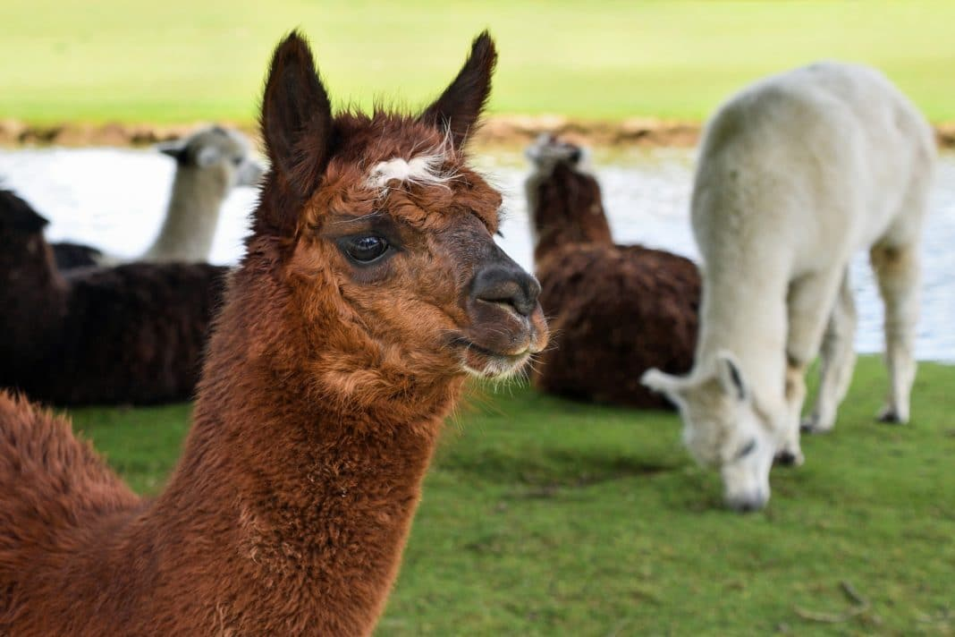 destination, vacation, active, fit, dance, alpaca, alpacas, dancinc alpacas, classes with