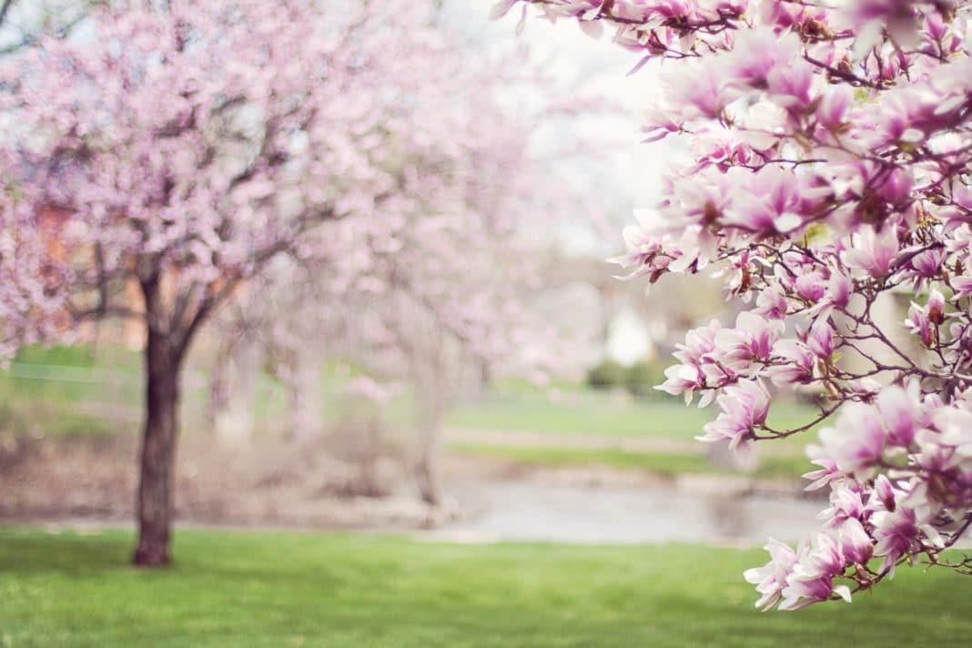 Magnolia Trees Springtime Blossoms Spring 38910 Trekbible