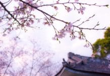trekbible, cherry blossom, travel, travel intel, trip ideas, cherry blossoms, Japan, visit Japan, fall travel