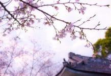 trekbible, cherry blossom, travel, travel intel, trip ideas, cherry blossoms, Japan, visit Japan, fall travel