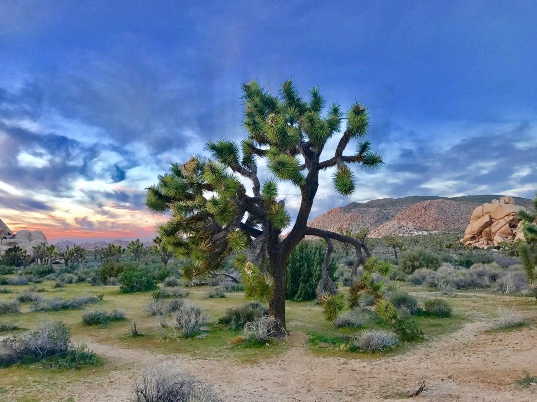 best national parks in california -  Joshua Tree