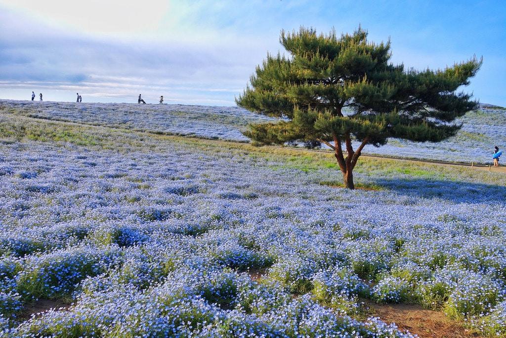 secret travel destinations - Hitachi Seaside Park, Ibaraki, Japan