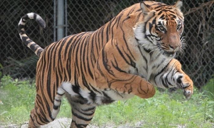 things to do in sarasota - Big Cat Habitat and Gulf Coast Sanctuary