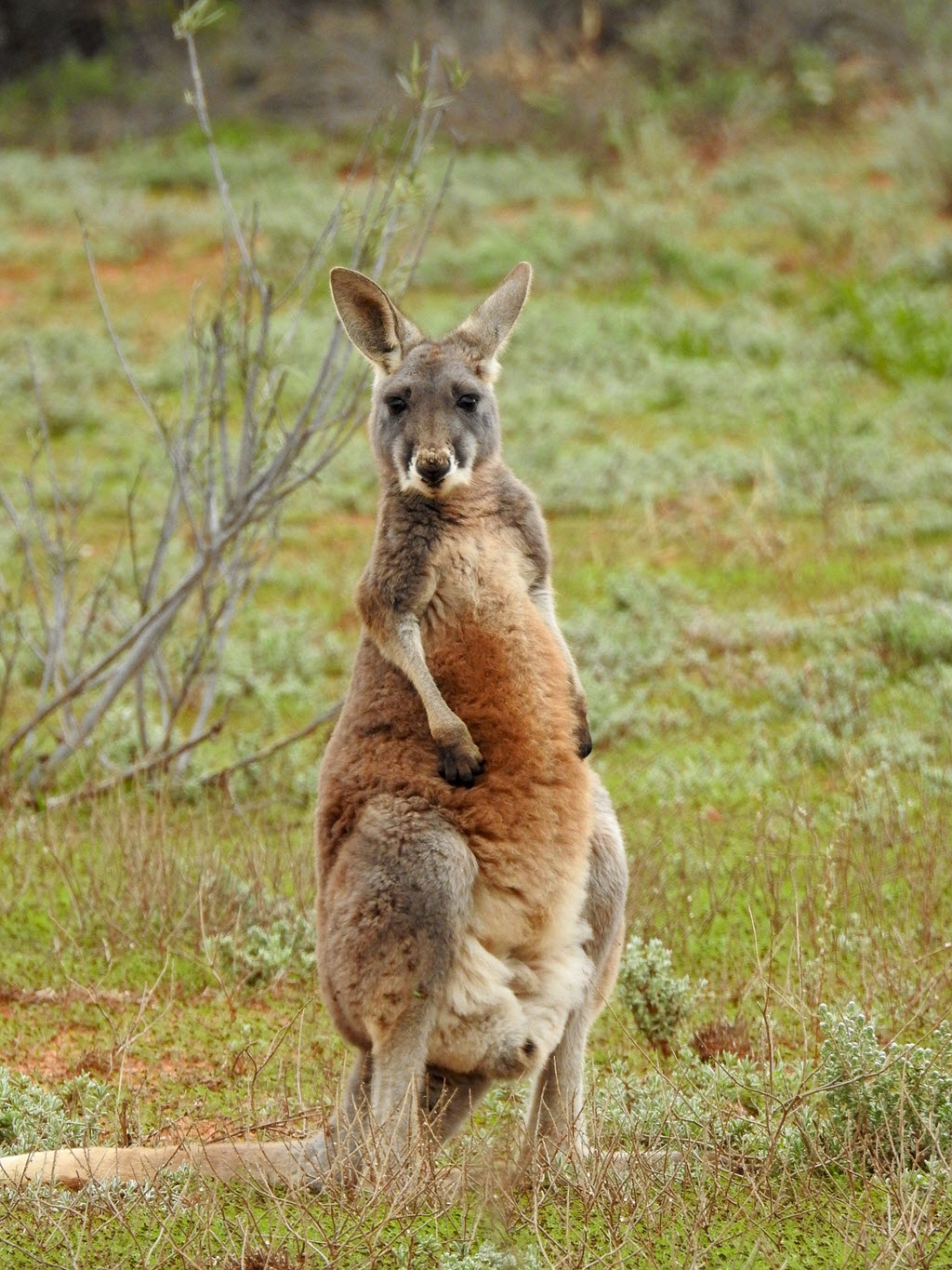 Moving to Australia - Cute kangaroo